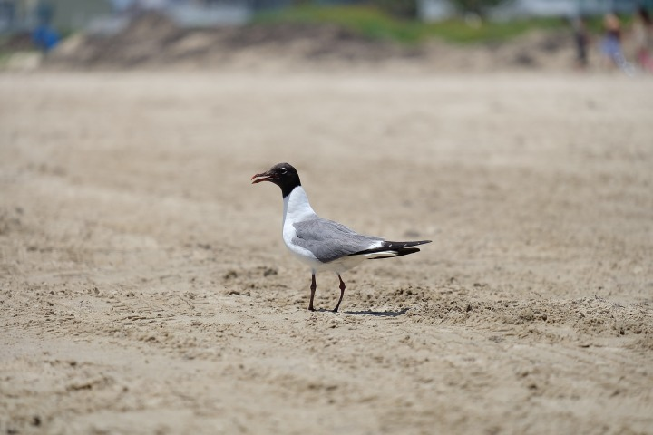 seagull-365567_1920