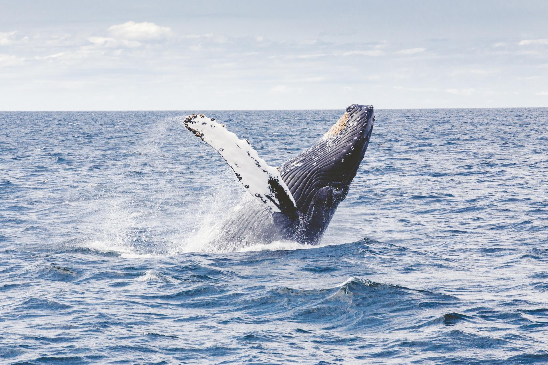 humpback-whale-1209297_1920