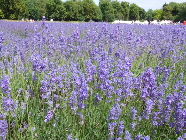 Mayfield Lavender Farm - London